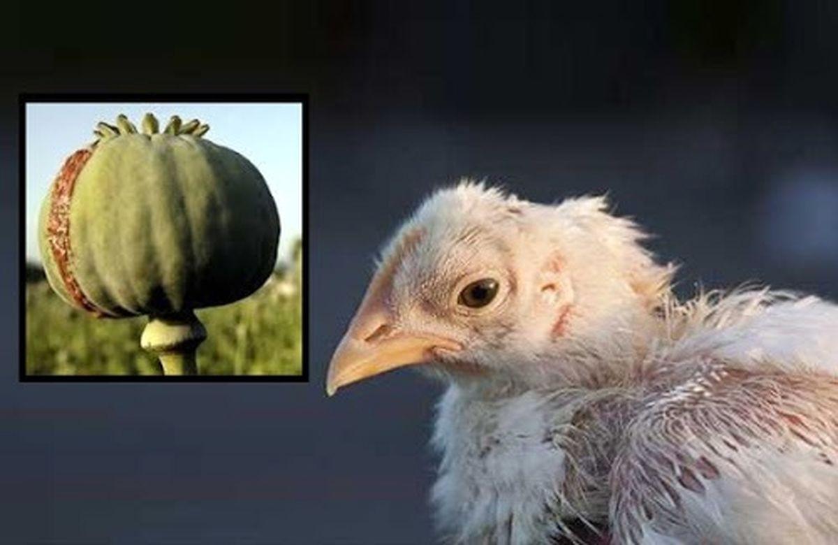 فوری: مراقب مرغ های تریاکی باشید  نشانه های مرغ تریاکی